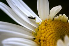 Free Spider In The Daisy Wheel Royalty Free Stock Photography - 2292867