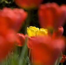 Free Isolated Yellow Tulips Royalty Free Stock Image - 2293796