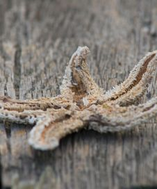 Dried Starfish On Pier Royalty Free Stock Image