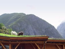 Free Goats On A Roof 01 Royalty Free Stock Photo - 2294545