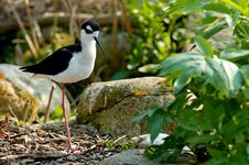 Free Black-necked Stilt Royalty Free Stock Photo - 2294665