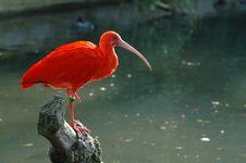 Free Scarlet Ibis Royalty Free Stock Photography - 2294667