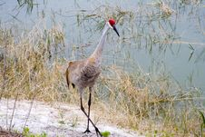 Free Sandhill Crane Royalty Free Stock Image - 2296316