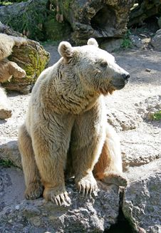 Syrian Brown Bear 7 Royalty Free Stock Images