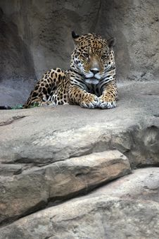 Free Jaguar Royalty Free Stock Photography - 2297007
