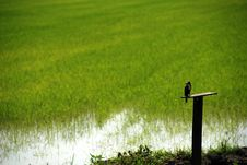 Free King Fisher And Paddy Field Stock Image - 2297031