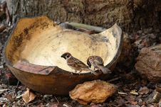 Free Sparrows Stock Photography - 2297092