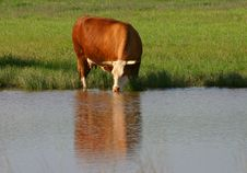 Free Drinking Cow Stock Photography - 2299382