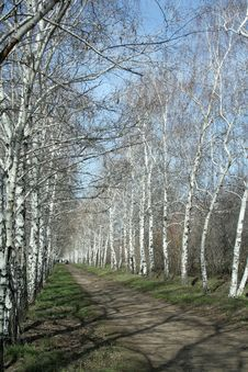 Free Birches Royalty Free Stock Photography - 2299567