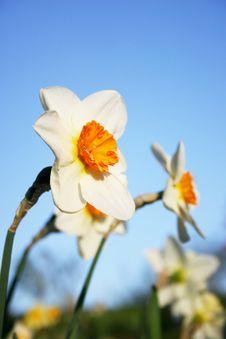 Free Daffodils Stock Photos - 2299673