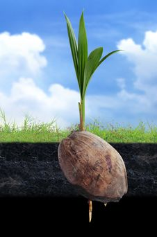 Free Coconut Seedlings Stock Photography - 22900252