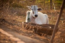 Indian White Cow In Farmland Royalty Free Stock Image