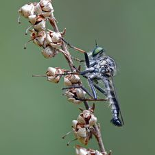Free Robber Fly Stock Image - 22903211