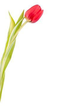 Free One Red Tulip Isolated On White Royalty Free Stock Images - 22903369