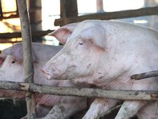Free Pig In The Sty Stock Photo - 22904970