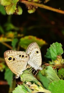 Free Pair Of Butterfly Royalty Free Stock Photography - 22906027
