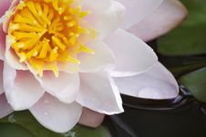 Free Water Lily Closeup Stock Image - 22907851