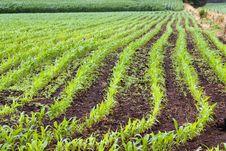Free Green Spring Corn Field Royalty Free Stock Photos - 22907938