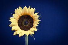 Free Sunflower Head Stock Image - 22908511