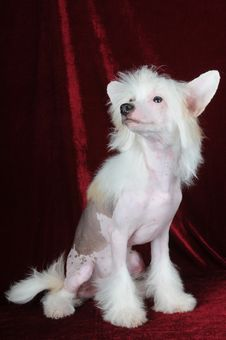 Chinese Crested Dog Portrait Stock Photos
