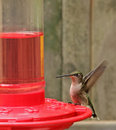 Free Ruby-throated Hummingbird, Archilochus Colubris Stock Image - 22910611