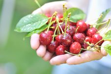Free Cherries In Woman Hands Royalty Free Stock Photo - 22910305