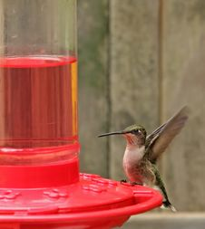 Free Ruby-throated Hummingbird, Archilochus Colubris Stock Image - 22910611