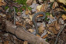 Free Garter Snake Royalty Free Stock Photography - 22915357