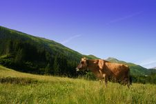 Cow On Alpine Pasture Royalty Free Stock Photography