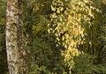 Free Autumn Birch Stock Photography - 22926562