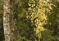 Free Autumn Birch Stock Photography - 22926562
