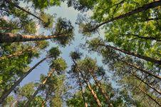 Free Tall Pine Trees Stock Photos - 22927713