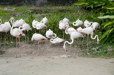 Free Flamingos Royalty Free Stock Photography - 22928847