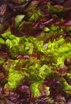 Free Lettuce Closeup Royalty Free Stock Photo - 22938095