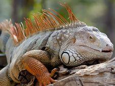 Free Iguana Stock Photo - 22939730