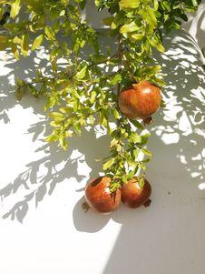 Free Pomegranate  Branch Royalty Free Stock Photo - 22941105