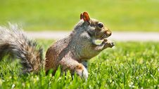 Free Squirrel Stock Photography - 22943322