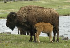Free Bison Cow And Nursing Calf Royalty Free Stock Image - 22944356