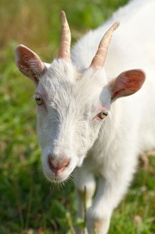 Free A Goat Grazing In The Meadow Stock Photos - 22946453