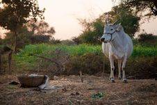 Indian White Cow In Farmland Stock Images