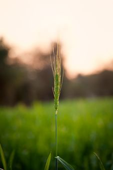 Closeup Of  Green Wheat