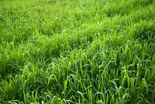Free Green Grass Royalty Free Stock Photos - 22946778