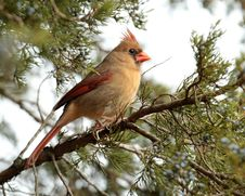 Free Female Cardinal Royalty Free Stock Photo - 22949655