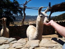 Free Inquisitive Llama Alpaca, South America Royalty Free Stock Photo - 22950415