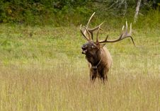 Free Male Elk Sounding A Bugle Royalty Free Stock Photos - 22951218