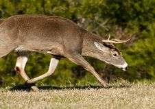 Free Aggressive Dominant White Tailed Buck Royalty Free Stock Image - 22951856