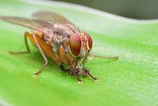 Free Housefly Eating Its Kill Royalty Free Stock Image - 22953856