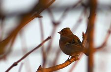 Free Chaffinch At Sunset Royalty Free Stock Image - 22958506