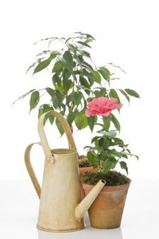 Free Hibiskus Flower And Ficus  Tree  In  Pots Royalty Free Stock Photo - 22959265
