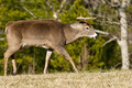 Free White Tailed Deer Buck In Rutting Season Royalty Free Stock Photography - 22967287